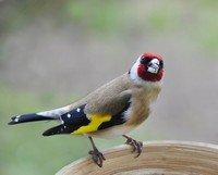 Alle Finken Auf Deutsche Vogelstimmende